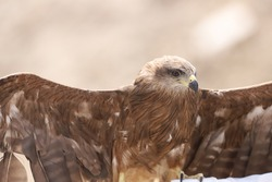 A Birds Of Prey Eagle Winged Opening