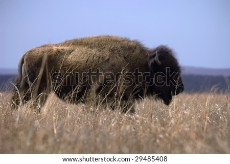 A bison stands among the fading winter grass on the prairie in early spring.