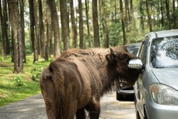a bison stands next to the car window as he passes by a wild animal area in a safari park