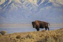 A bison with the Great Salt Lake and the Wasatch Mountains in the distance.