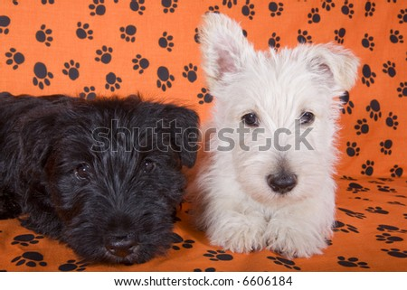A black and a white Scottish Terrier pup on orange background with paw prints