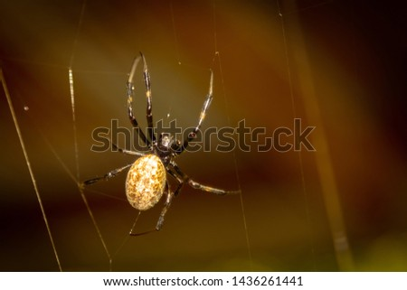 A black and brown colour spider is photographed close up, macro picture,Natural background,spider and spider web. Spiders are creating spider webs. #1436261441
