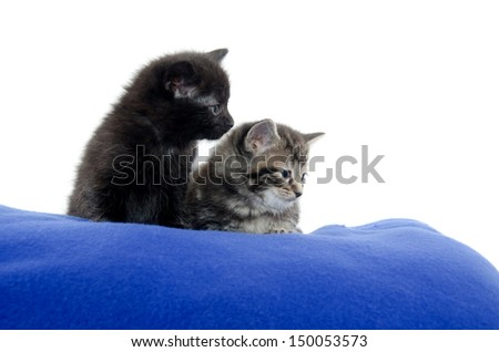 A black and tabby American shorthair kitten on blue blanket with white background