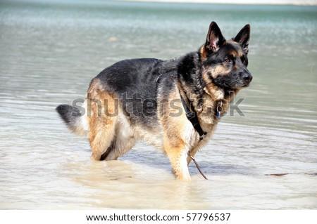 A black and tan male German Shepherd Dog. - stock photo