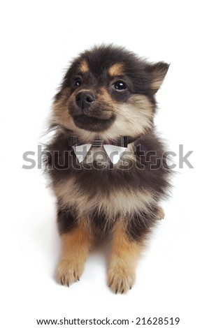 Black And Tan Pomeranian Puppy. Stock Photo 21628519 : Shutterstock