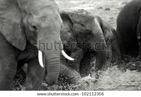 A black and white abstract photo of a elephant herd in Addo elephant national park,eastern cape,south africa