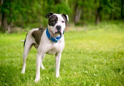 A black and white American Bulldog mixed breed dog with a blue collar standing outdoors