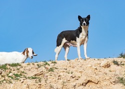 a black and white bedouin canaan dog stands guard over a flock of goats on a hilltop in the negev desert in israel with a clear blue sky background