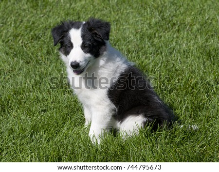 A black and white border collie puppy watches his fellow dogs competing in agility contests.  He will definitely be a puppy in training! #744795673