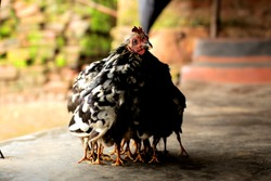 A Black and White Chicken/Hen Covering and Protecting her Chicks under her Wings