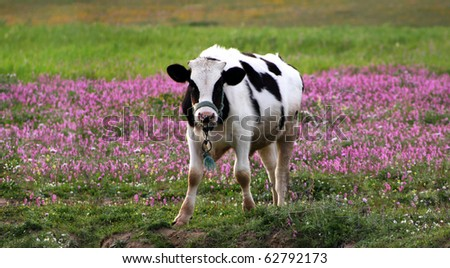 a black and white cow standing on green grass with pink flowers