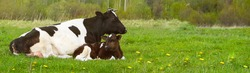 a black and white cow with a calf is lying on a field with green grass. Long banner with space for text