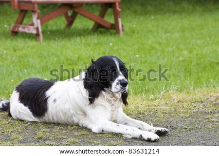 A black and white English Springer Spaniel dog