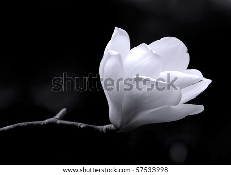 A black and white fine art portrait of the flower from a magnolia tree.