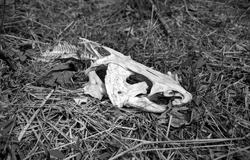 A black and white front quarter view of a sun bleached white skull and partial skeleton of channel catfish laying in dead grass in the sun