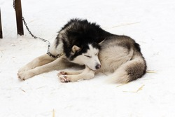 A black-and-white husky dog sleeps near a booth on a snowy winter day