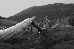 A black and white image along the trun of a dead, fallen tree in the Scottish Highlands