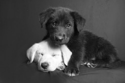 A black and white image of a white and a black Labrador puppies with one sleeping and the other on top of him on an isolated grey background.