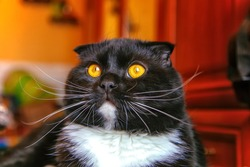 A black-and-white lop-eared Scotsman with yellow eyes in close-up against a blurry background. Portrait of a Pedigreed cat with a pedigree on a brown background. Favorite pet keeping and feeding.