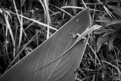 A black and white of a small lizard on a large leaf