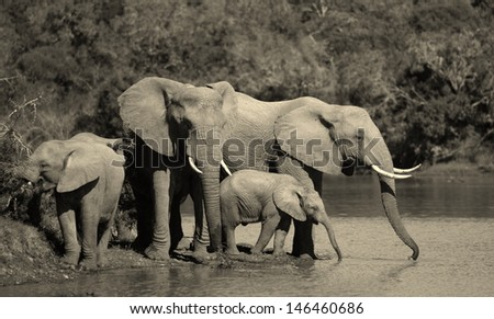 A black and white photo of a herd of elephant drinking at a watering hole. Mother and calf drinking together. Taken in South Africa.