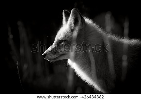 A black and white photo of a Red Fox taken on a bright sunny winter day.