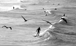 A black and white photo of several surfers in wet suits in the waves of the Pacific Ocean off the coast of Venice Beach in California, USA with several pelicans flying above them.