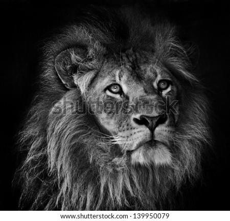 a black and white portrait of of a male lion with mane on a dark background