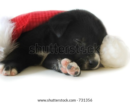 A black and white pup naps under a santa hat.