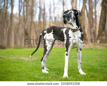 A black and white purebred Harlequin Great Dane dog outdoors #1058092208