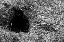 A black and white shot of a black cat laying in a bed of straw.