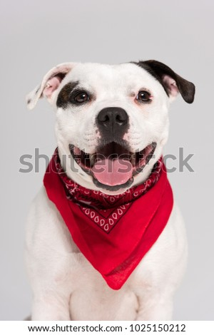 A black and white Staffordshire bull terrier dog,isolated on a white seamless wall in a photo studio.