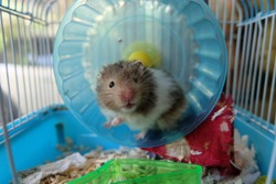 A black and white syrian hamster on a running wheel in a dirty cage