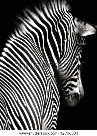 A black and white zebra image at an interesting angle showing head and shoulders.  The zebra is facing slightly away from the camera and is isolated on a black background.
