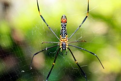 A black and yellow colour spider is photographed close up, Black Widow Spider, macro picture,Natural background, colourful big and small spiders in nature, copy space, spider and spider web