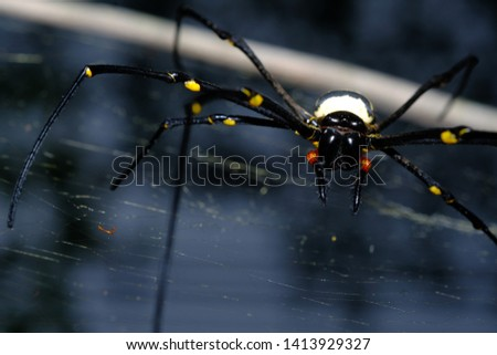 A black and yellow colour spiders is photographed close up, Black Widow Spider, macro picture,Natural background, colourful big and small spiders in nature, copy space, spider and spider web
