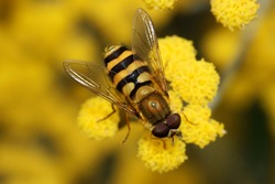 A black and yellow hover-fly on a yellow flower drinking nectar on a summers day