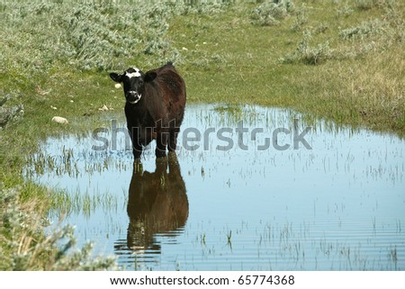 A black Angus beef cow stands in the middle of a small body of water and casts a reflection.
