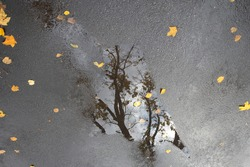 A black autumn tree, as in a shard of mirror, is reflected in a shallow puddle after the rain. Yellow leaves stuck to the gray asphalt. View from above. Close-up.
