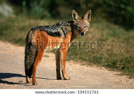 A black backed Jackal in this side on landscape portrait of this unique mammal looking into the camera. Taken in Addo elephant national Park,eastern cape,south africa