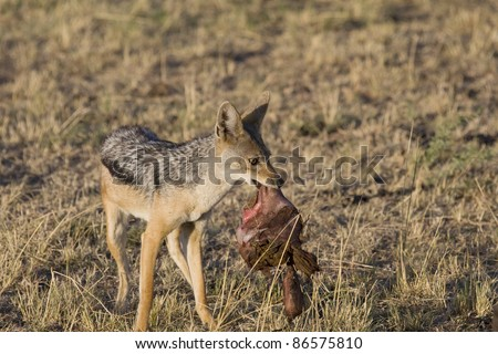 A black-backed jackal scavenges on the insides of a lion's kill.