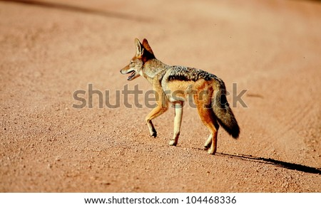 A black backed jackal walking past in this close up side profile portrait taken in good light. Taken in Addo elephant national park,eastern cape,south africa