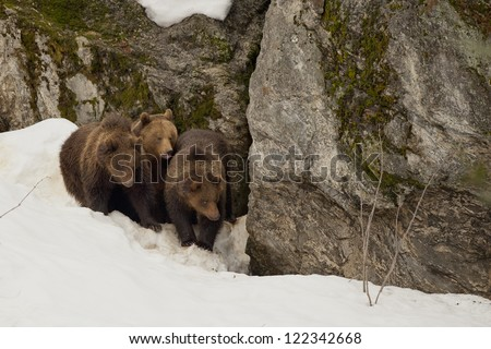 A black bear brown grizzly family portrait in the snow while looking at you
