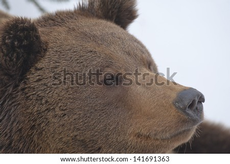 A black bear brown grizzly portrait in the snow while looking at you
