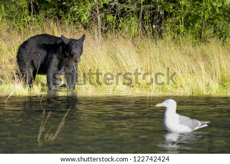 A black bear looking a seagull in Russian River Alaska