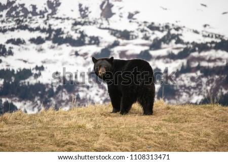 A Black Bear on a Hill