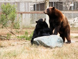 A black bear sits upright with its front paws on a large rock looking at a brown bear stands on its back legs with its front legs on the same rock.