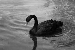 A black beautiful swan swims on the lake on a sunny day. Black swans feed mainly on aquatic plants and small algae, do not disdain also grain