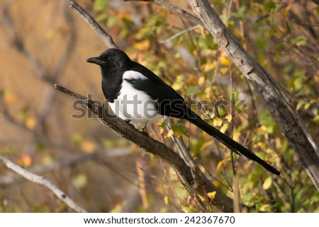 A black-billed magpie perched on a branch in Rocky Mountain National Park in the fall