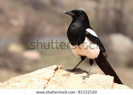 A Black-billed Magpie resting on a rock in the Rocky Mountains of Colorado.